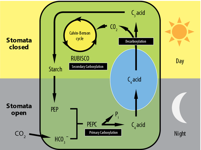 Figure 1. from Garcia et al 2014. Crassulacean acid metabolism (CAM) pathway