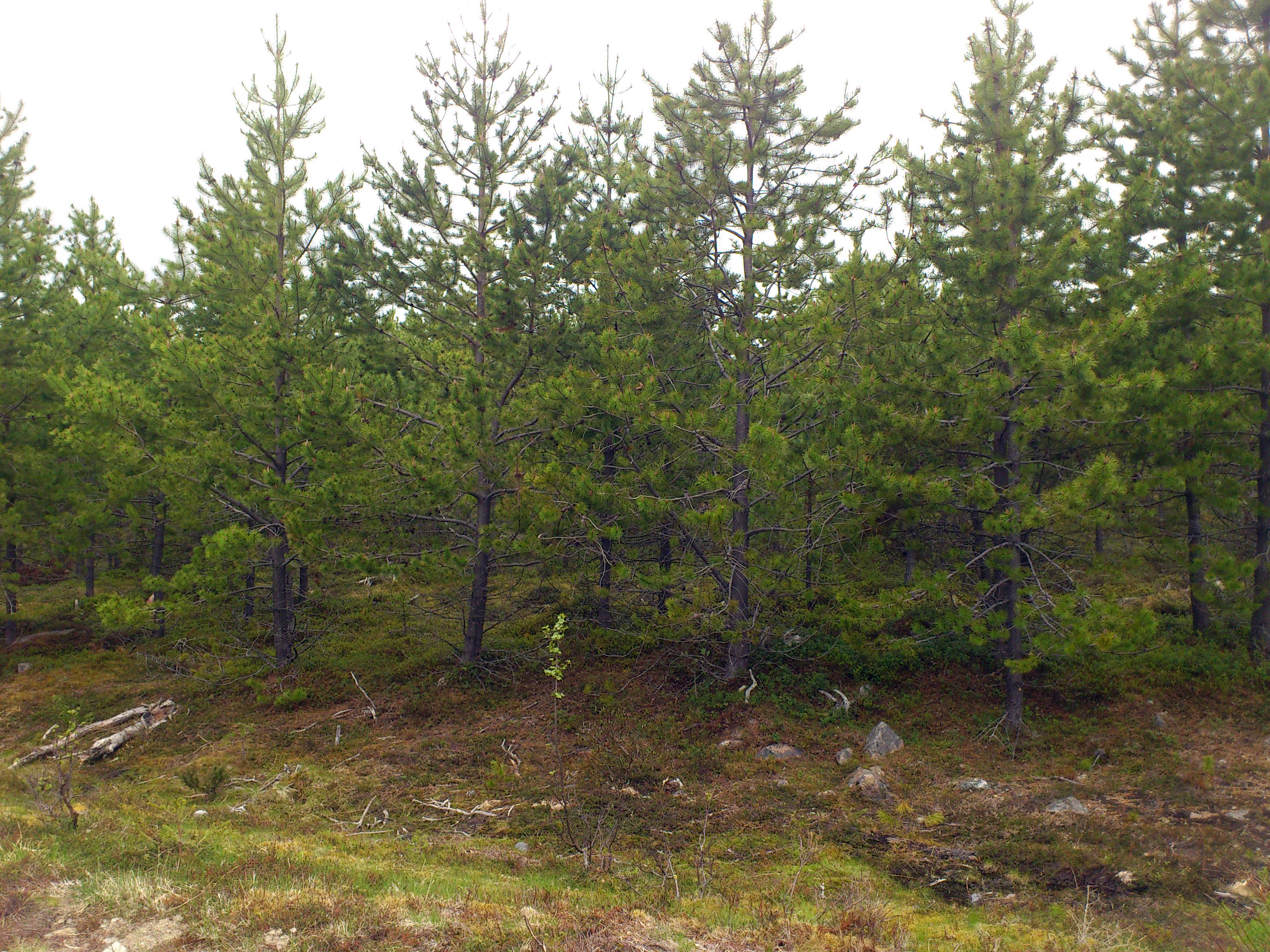 A Pinus contorta plantation in Norrbotten, the northernmost county in Sweden. Photo: Marie-Charlotte Nilsson Hegethorn