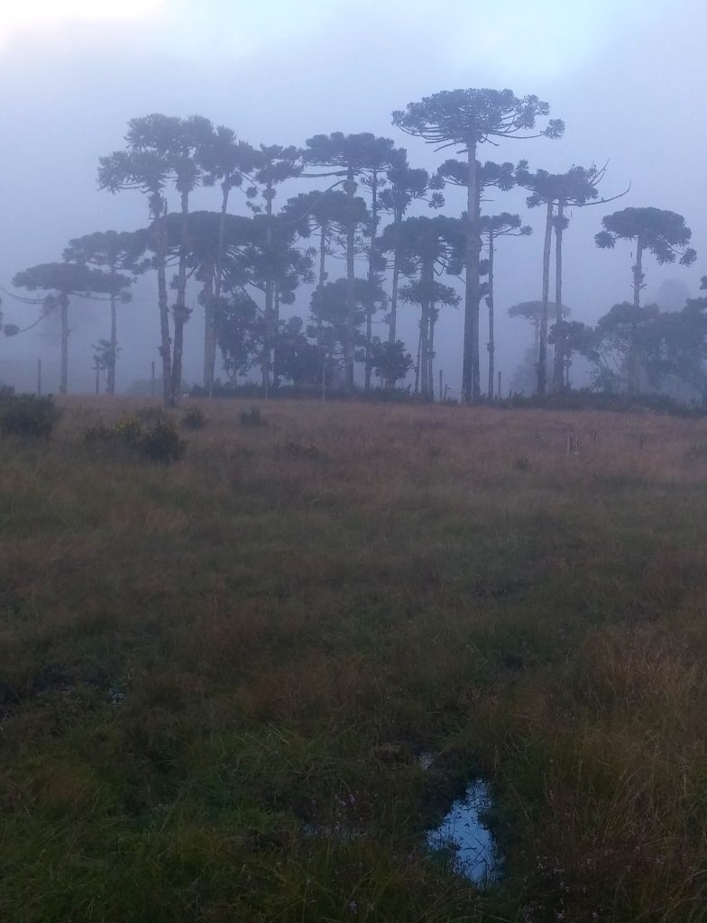 Araucaria angustifolia trees in the cloud forest belt at the Mantiqueira range, southeast Brazil. Courtesy of Rafael S. Oliveira.