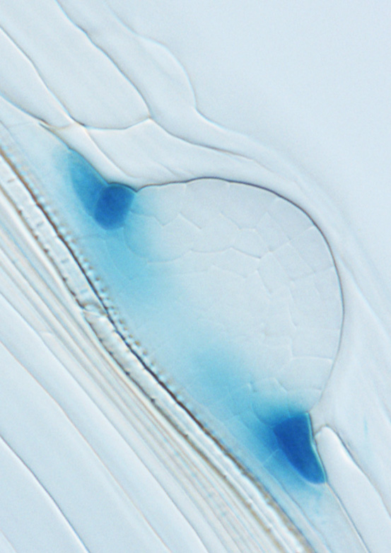 Image: MYB36 is expressed in the cells surrounding the developing lateral root, defining the boundary between the parent and progeny root tissues (blue: MYB36-GUS). Credit: Fernández-Marcos et al. (2016).
