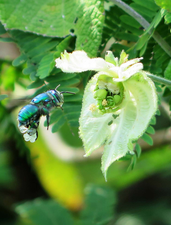 Image: A female Euglossa hovering in front of a Dalechampia blossom, Costa Rica. Note resin on hind corbiculae. Courtesy of Elena Albertsen.