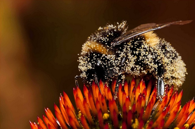 Image: Identifying separate pollen grains on a generalist pollinator can be tricky. Image credit: Smudge. Used under licence: CC BY-SA 2.0.