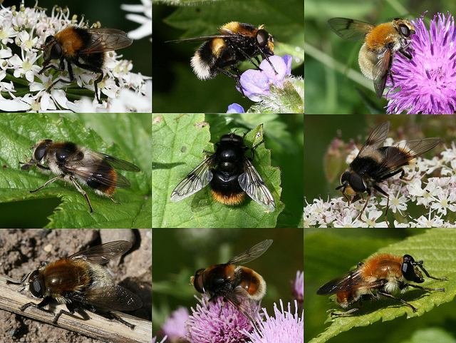 Image: These hoverflies mimic bumblebees, making their quick on-the-wing identification even more tricky! Image credit: S. Rae. Used under licence: CC BY 2.0.