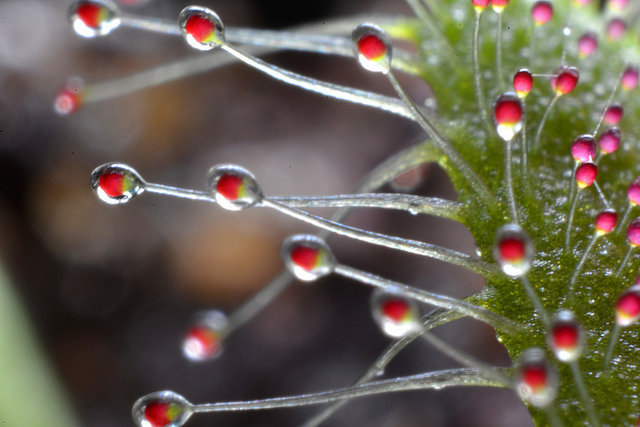 Image: A close-up look at Cape sundew tentacles, and their sticky dew drops of mucilage. Image credit: Incidencematrix. Used under licence: CC BY 2.0.