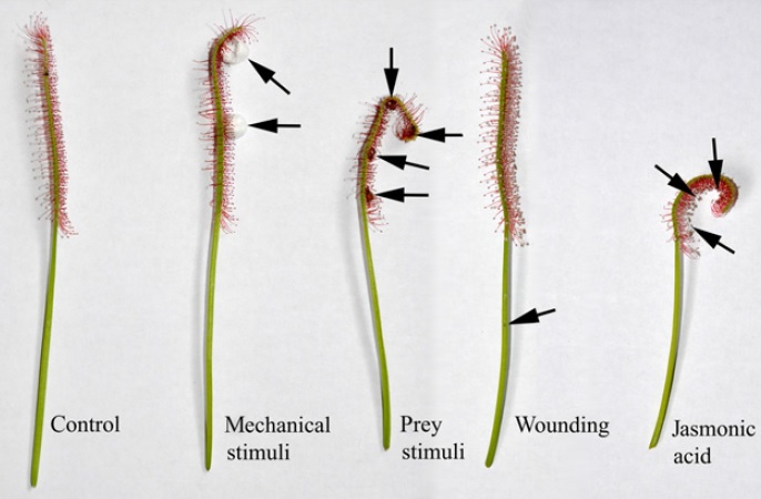Image: Responses of sundew traps to different stimuli. Image credit: Krausko et al. (2016). New Phytologist.