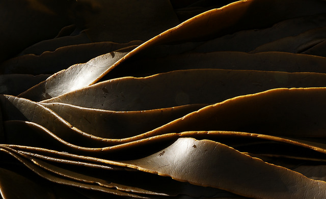 Image: Kelp is a member of brown algae (Phaeophyceae), which has stand-alone M1PDH and HAD-M1Pase enzymes. Image credit: Bernard Spragg. Image available in the public domain.