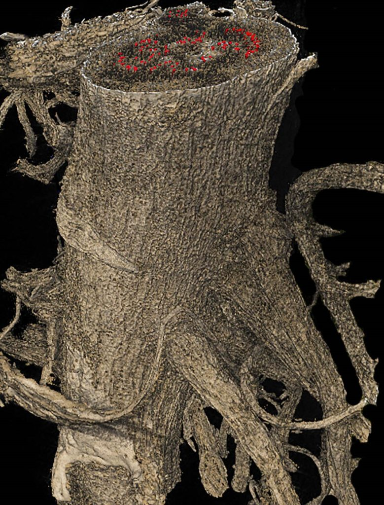 Image: 3D rendering of X‐ray microCT scans of desiccating tomato roots reveals embolism formation within xylem vessels (red). Courtesy of Robert P. Skelton.