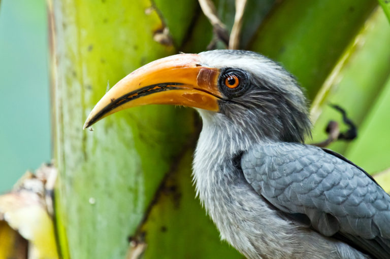 Image: The Malabar Grey Hornbill, which although highly mobile in the forest is thought to not move seeds between fragmented forest patches. Photo by Vivekpuliyeri via Wikimedia Commons.