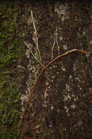 Image: Roots growing up a tree. Photo by João Rosa ©AmazonFACE.