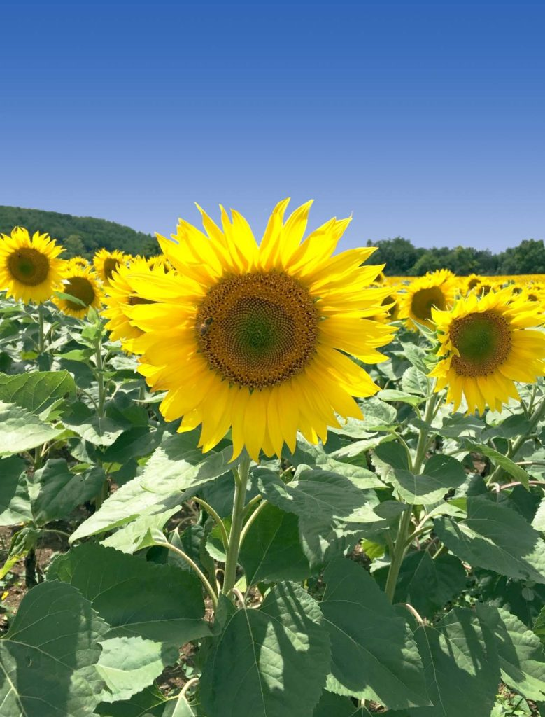 Image: Identification of the first genes regulating vitamin E biosynthesis in oilseeds. Sunflowers, near Auch, France.