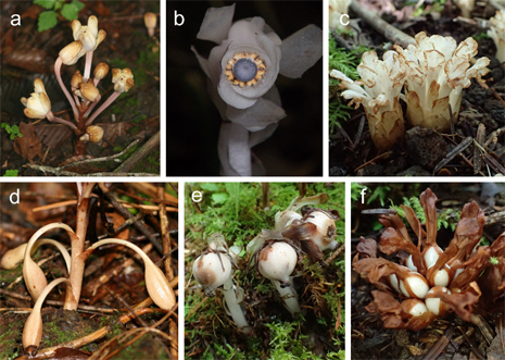 Image: (a–c) Flowering plants of three species of heterotrophic plants included in the study: (a) Yoania amagiensis, (b) Monotropastrum humile, (c) Phacellanthus tubiflorus. (d–f) Fruiting plants of three species of heterotrophic plants investigated here: (d) Y. amagiensis, (e) M. humile, (f) P. tubiflorus.