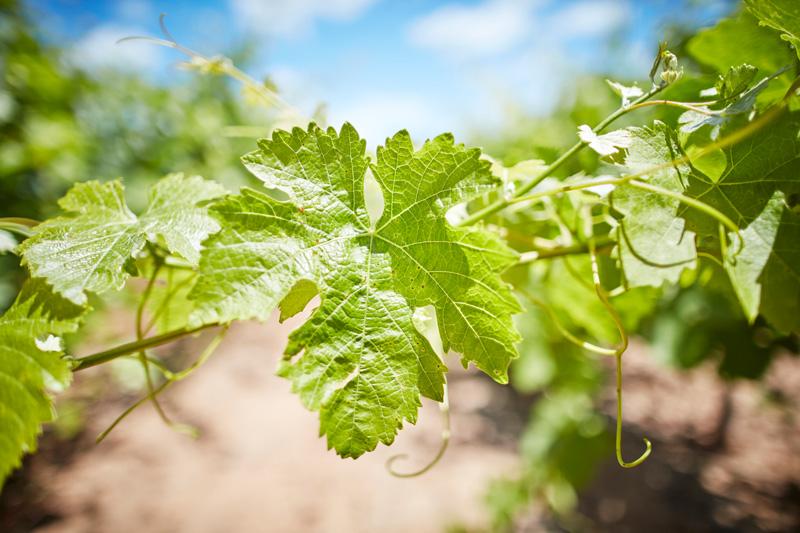 Image: grapevine. Image credit: Ewen Bell / Wine Australia.