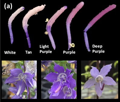 Image: Figure 1a: Pollen colour variation in Campanula americana varies from white to deep purple.