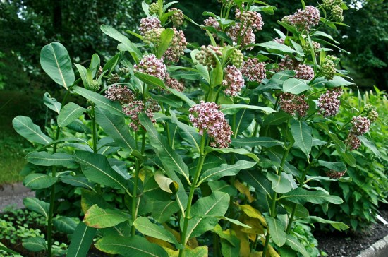 Image: Asclepias syriaca, commonly called common milkweed, butterfly flower, silkweed, silky swallow-wort, and Virginia silkweed. It is in the genus Asclepias, the milkweeds. Source: Wikipedia.