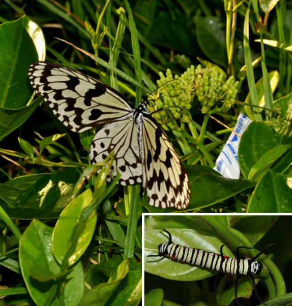 Image: An Idea leuconoe, the paper kite butterfly, on the Parsonia alboflavescans. In the inset is the butterfly's larva on the same kind of plant.
