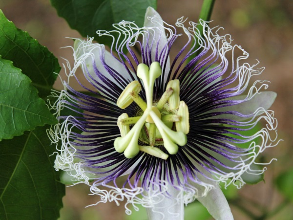 Image: Passion flower (credit: renê ardanuy on/off, Flickr. CC BY-NC 2.0).