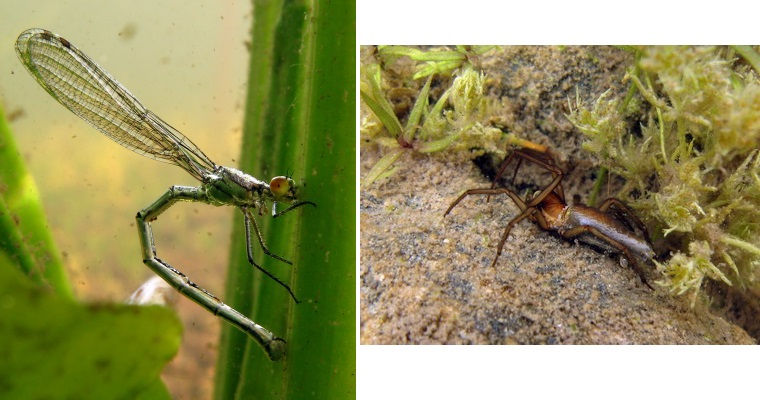 Image: Left: Female damselfly injecting eggs into the petiole of yellow water lily; Right: Spider (Dolomedes fimbriatus) hunting underwater. Courtesy of Ole Pedersen.