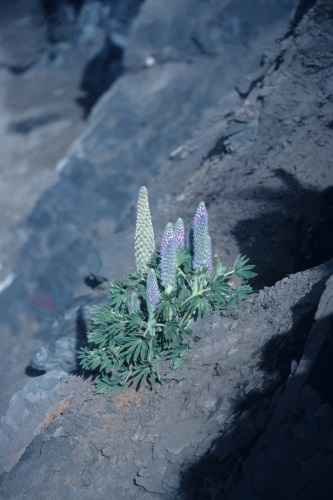 Image: Lupinus huaronensis, a large acaulescent rosette lupin growing at 4550 m in the Peruvian Andes. Courtesy of Colin Hughes.