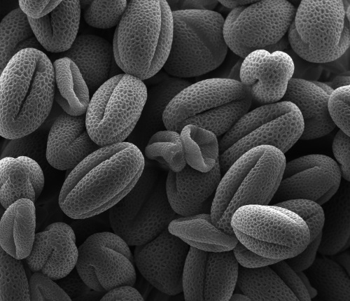 Image: Cryo‐scanning electron microscopy image of false-coloured aborted pollen grains in Arabidopsis npc2-1/- npc6-2/+ due to mutation in two plastid-localised non-specific phospholipase C. Courtesy of Anh H. Ngo.