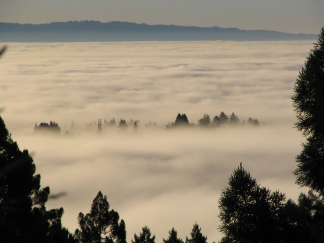 Image: Coast redwood (Sequoia sempervirens) emerges from the fog bank with wet leaves