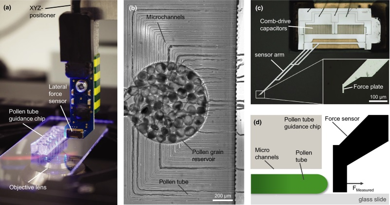 Image: System configuration to simulate the natural environment of the pollen tube (PT) in vitro with integrated force readout. (a) The experimental system combines a lab‐on‐a‐chip (LOC) device with a microelectromechanical systems (MEMS)‐based force sensor. (b) An optical image of a LOC loaded with pollen grains in the inner reservoir; the PTs grow in parallel in the same focal plane through the microchannels. (c) Capacitive force sensor measuring lateral forces at the force‐sensing plate. (d) Schematic side‐view of the experimental setup where the force‐sensing plate is placed in front of the PTs emerging from the microchannels.