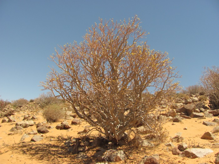 Image: The deciduous dendroid shrub Euphorbia balsamifera ssp. sepium from Western Sahara in its leafless state. Courtesy of Ricarda Riina.