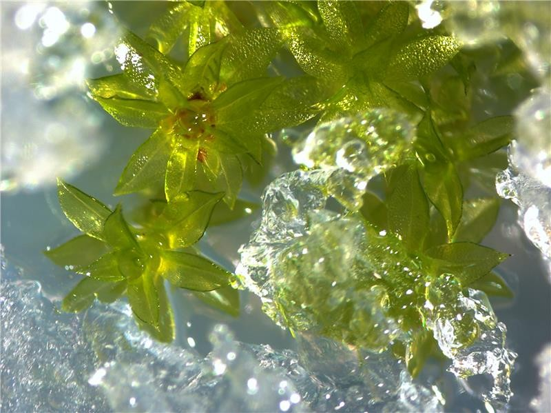 Moss plants covered in ice. Photo: Anna Beike, University of Freiburg