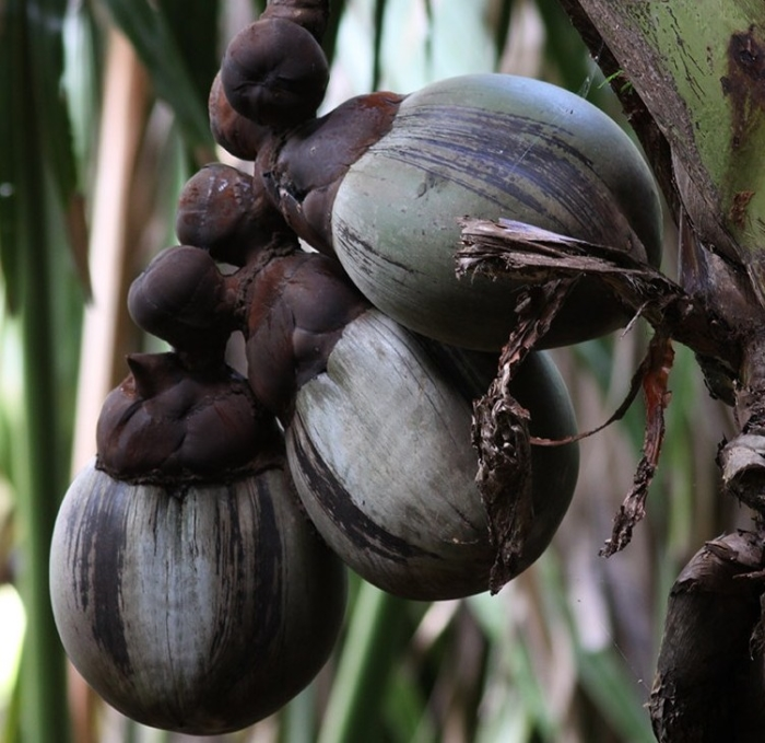 Three Coco de Mer fruits on a female tree. The fruits need up to 7 years to develop. Image: Dennis Hansen