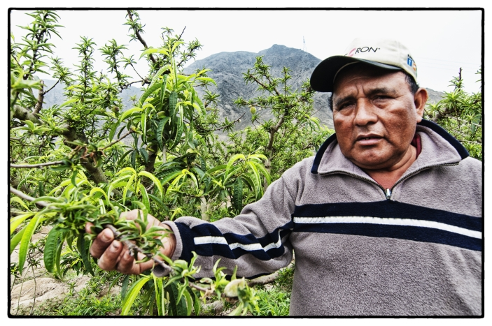 A peach farmer in Peru examines his crop for pests.