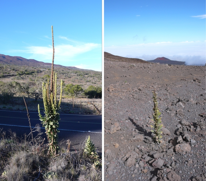 Verbascum thapsus at mis and high elevation - Invasion science