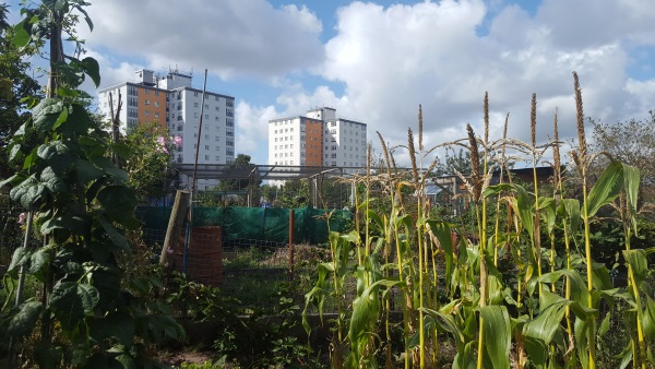 Food crops growing on allotments in Liverpool, tower blocks in the background.