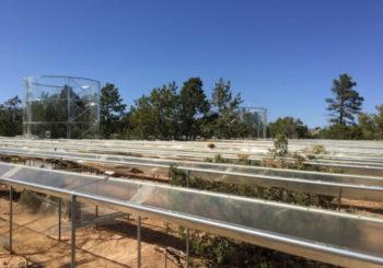 How do conifers survive droughts?