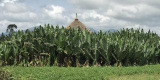 Giant bananas of the Ethiopian Highlands