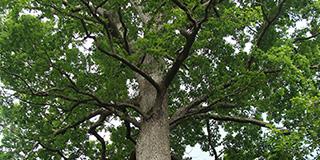 Oak genomics proves its worth