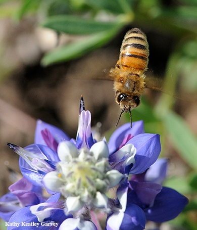 Image: A honey bee heading toward lupine. Nectar-living microbes release scents or volatile compounds, too--not just the nectar, according to newly published research led by Rachel Vannette. (Photo by Kathy Keatley Garvey)