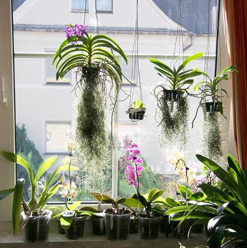 Orchids growing indoors on a windowsill