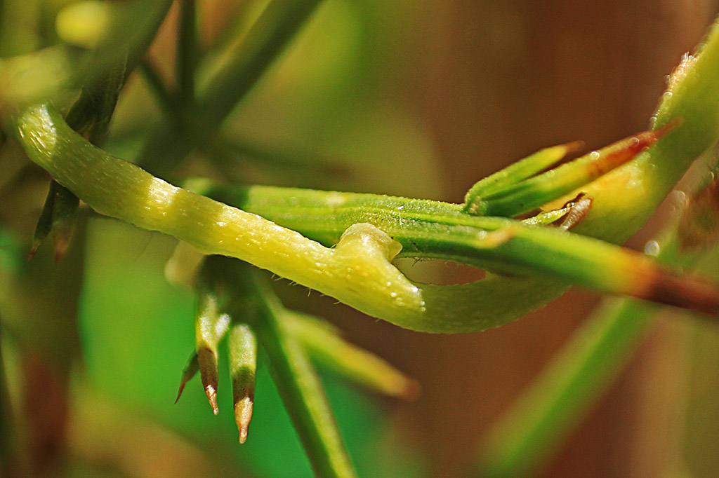 Close-up of Cassytha pubescens haustoria on the major invasive shrub gorse. Photo by Casey Lauren O'Brien.