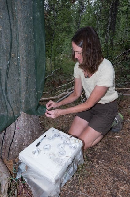 U.S. Forest Service researcher Barbara Bentz checks traps for signs of mountain pine beetle damage